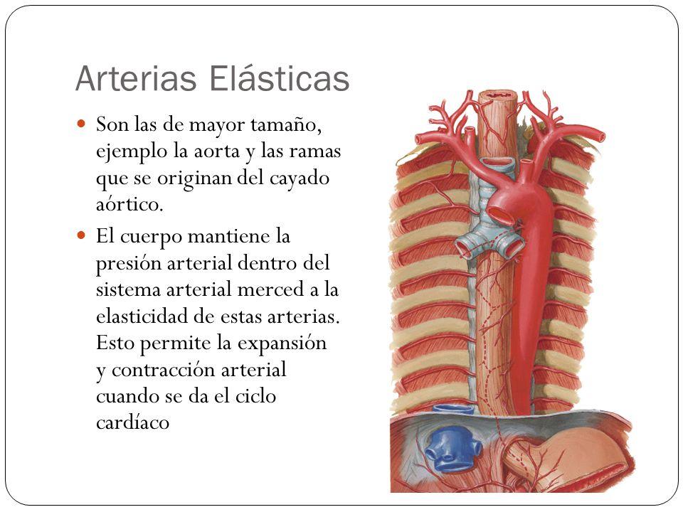 Arterias Elásticas Son las de mayor tamaño, ejemplo la aorta y las ramas que se originan del cayado aórtico.