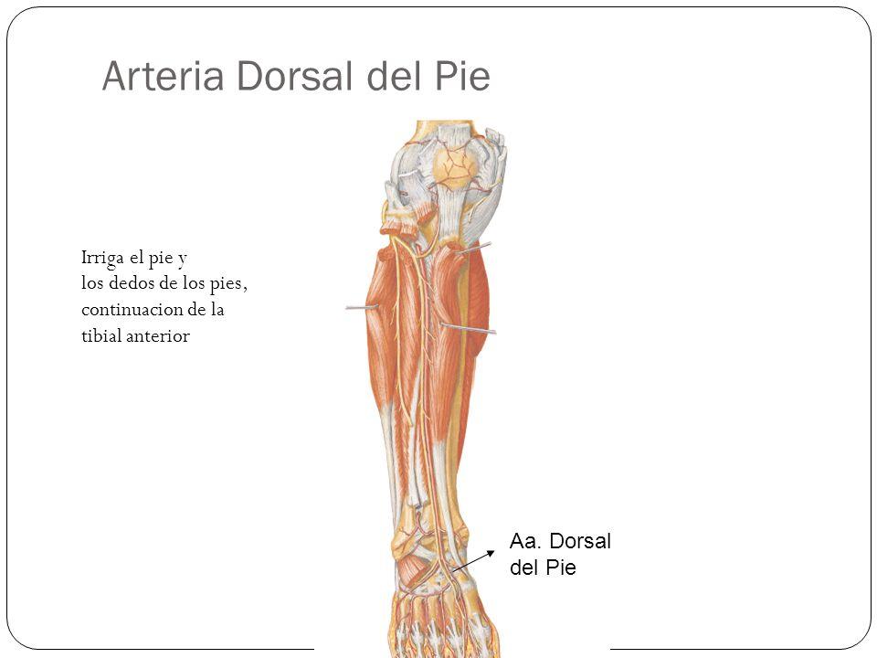Arteria Dorsal del Pie Irriga el pie y los dedos de los pies, continuacion de la tibial anterior.