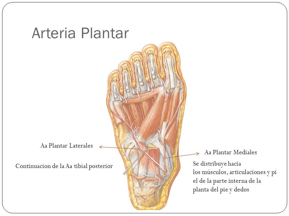 Arteria Plantar Aa Plantar Laterales Aa Plantar Mediales