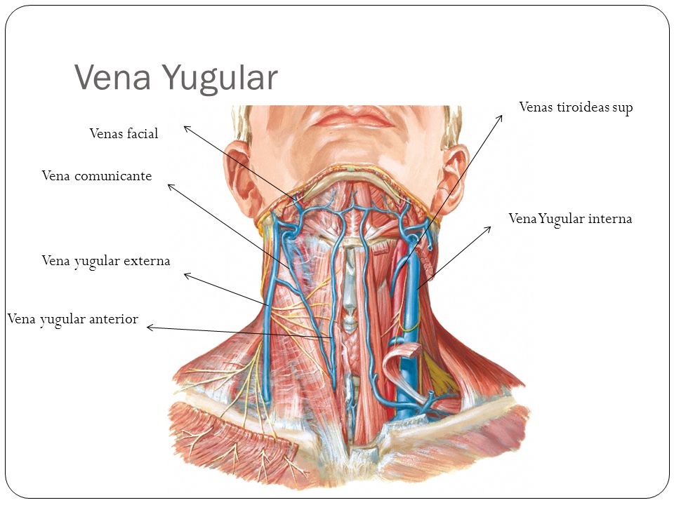 Vena Yugular Venas tiroideas sup Venas facial Vena comunicante