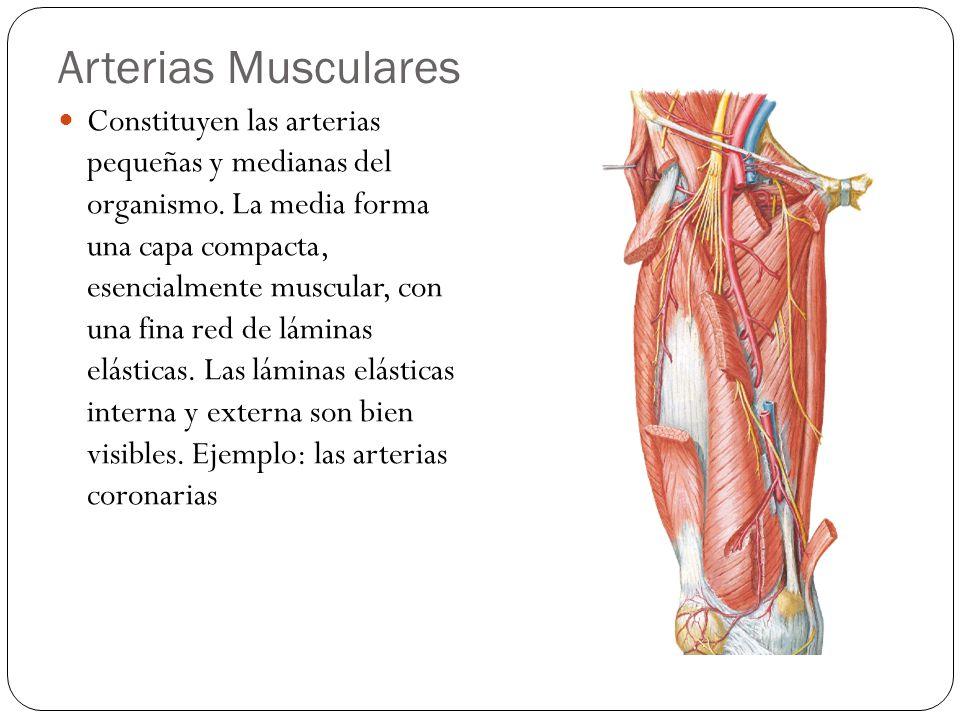 Arterias Musculares