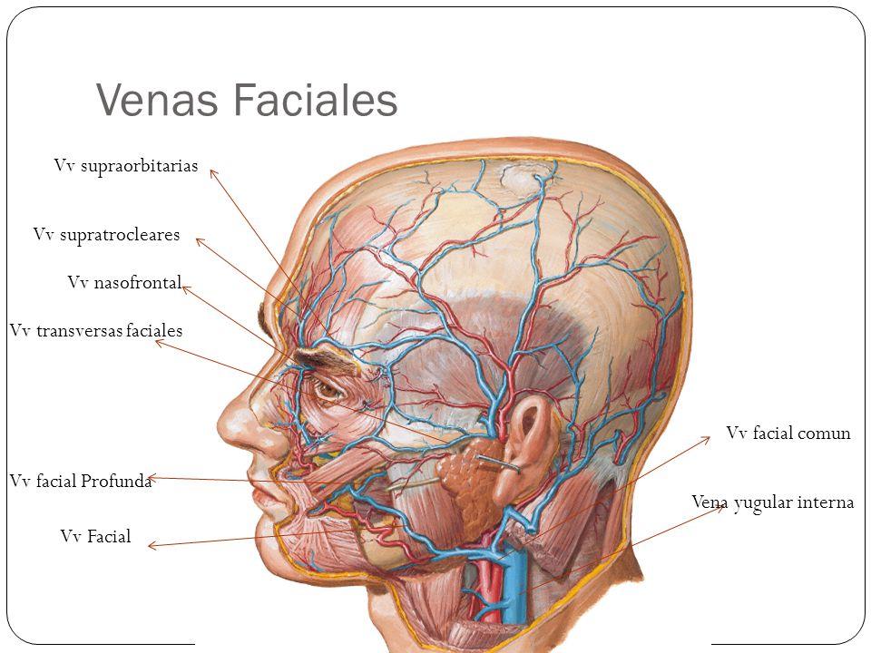 Venas Faciales Vv supraorbitarias Vv supratrocleares Vv nasofrontal