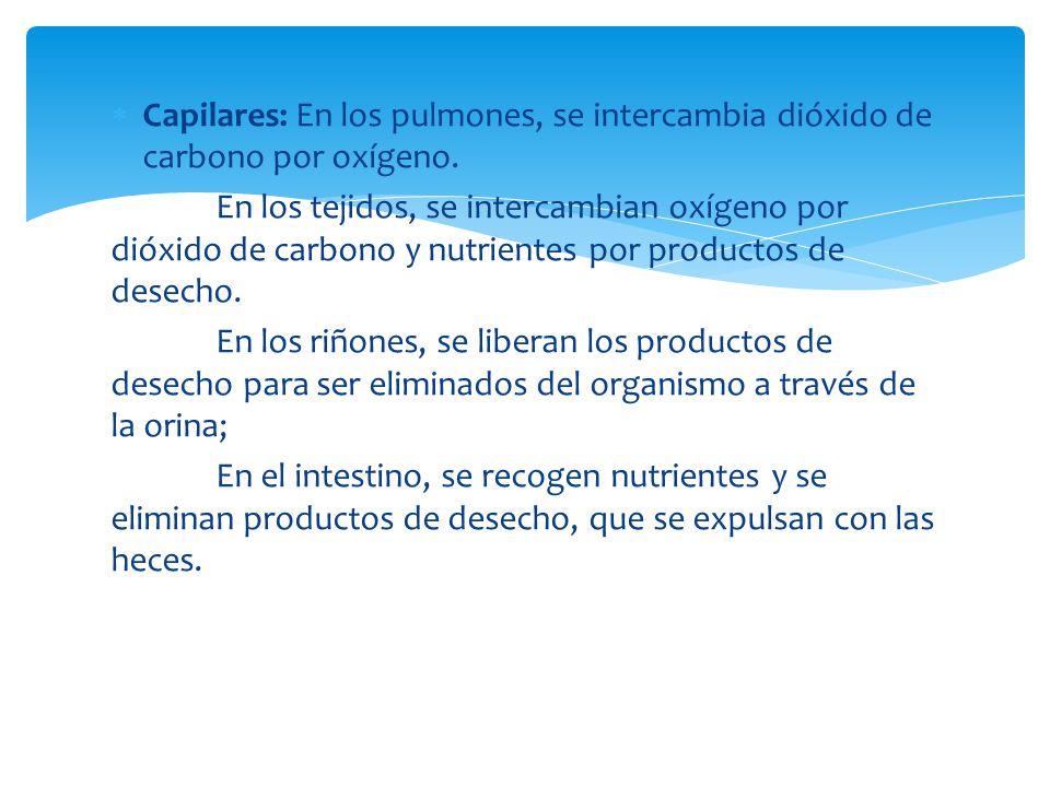 Capilares: En los pulmones, se intercambia dióxido de carbono por oxígeno.