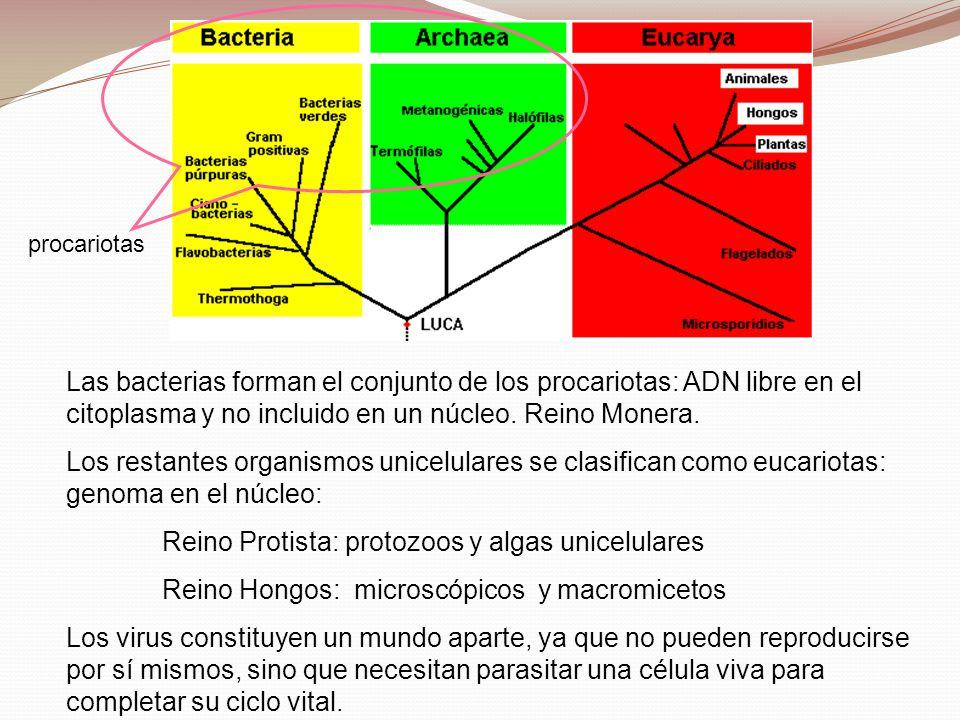 Reino Protista: protozoos y algas unicelulares