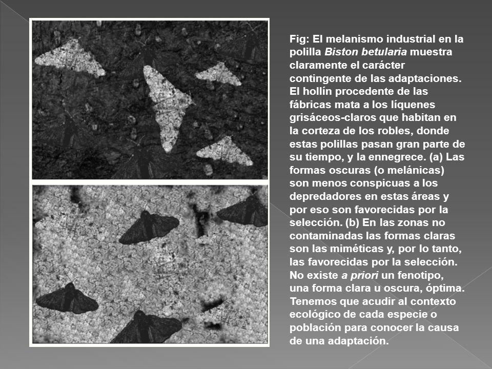 Fig: El melanismo industrial en la polilla Biston betularia muestra claramente el carácter contingente de las adaptaciones.