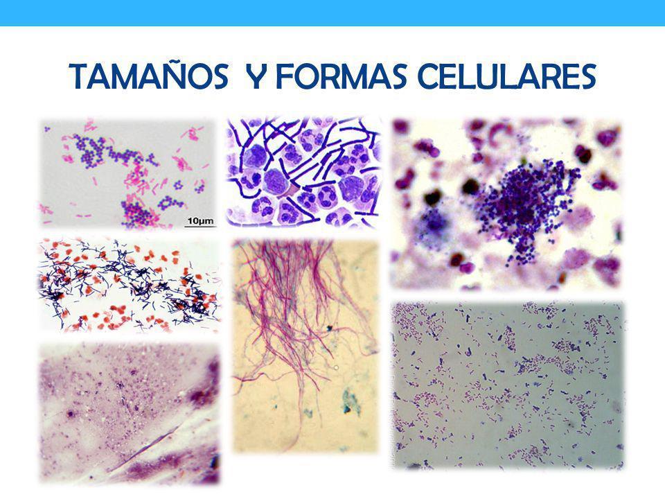 TAMAÑOS y formas CELULARES