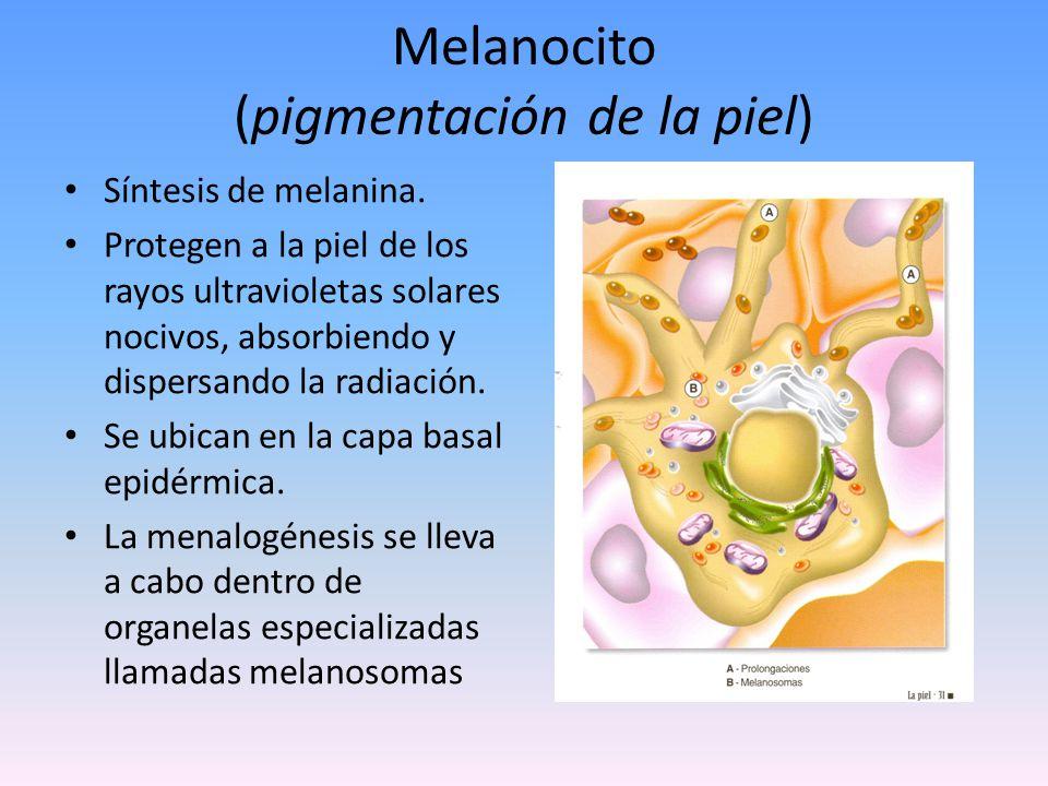 Melanocito (pigmentación de la piel)