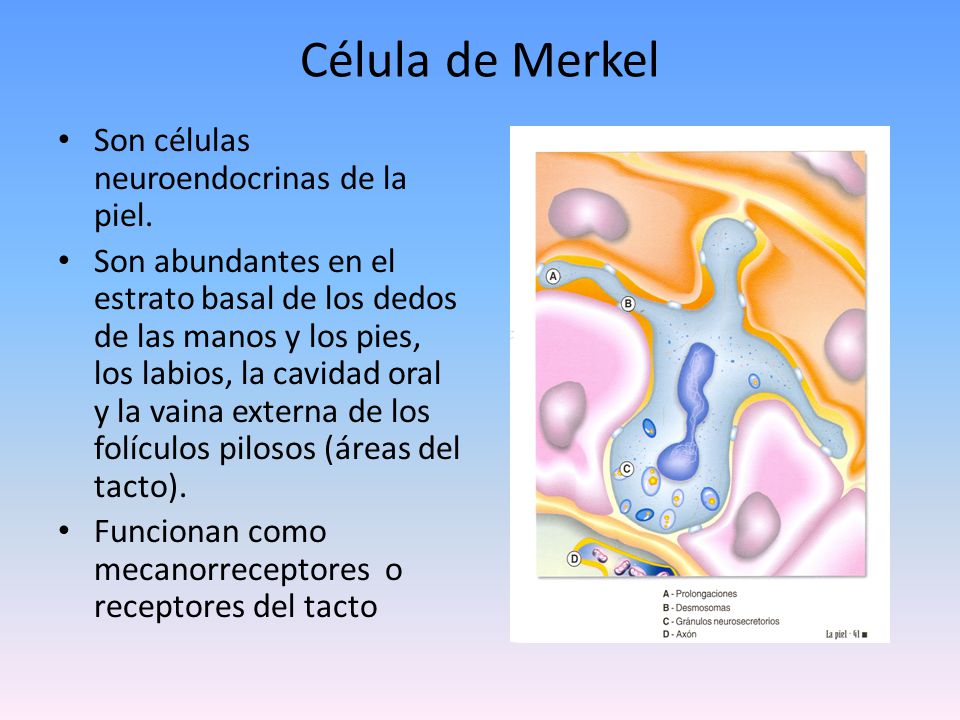 Célula de Merkel Son células neuroendocrinas de la piel.
