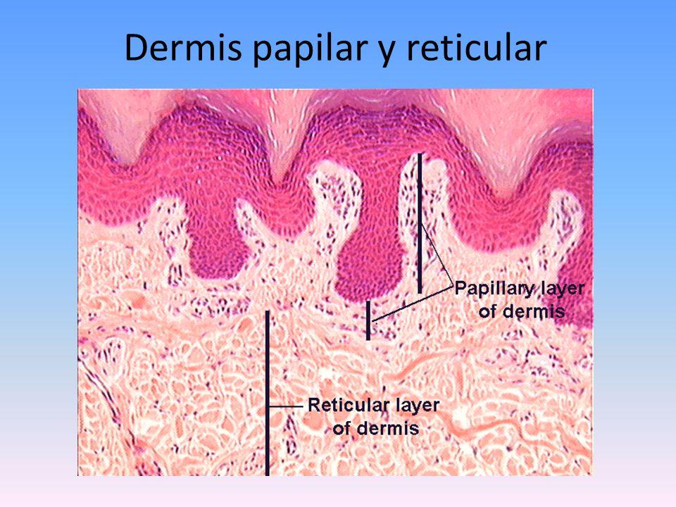 Dermis papilar y reticular