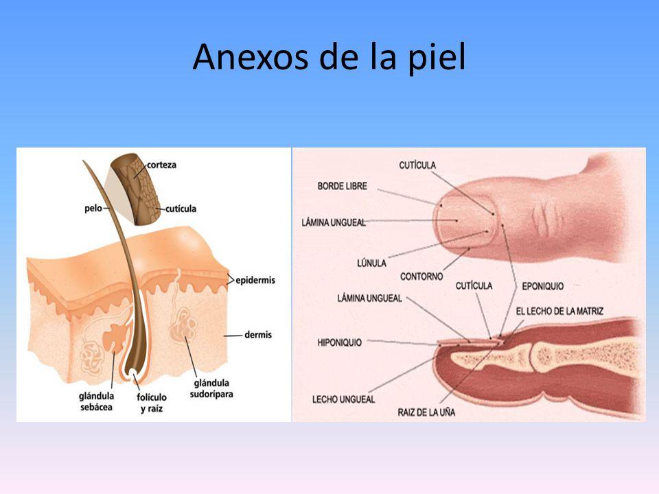 Anexos de la piel