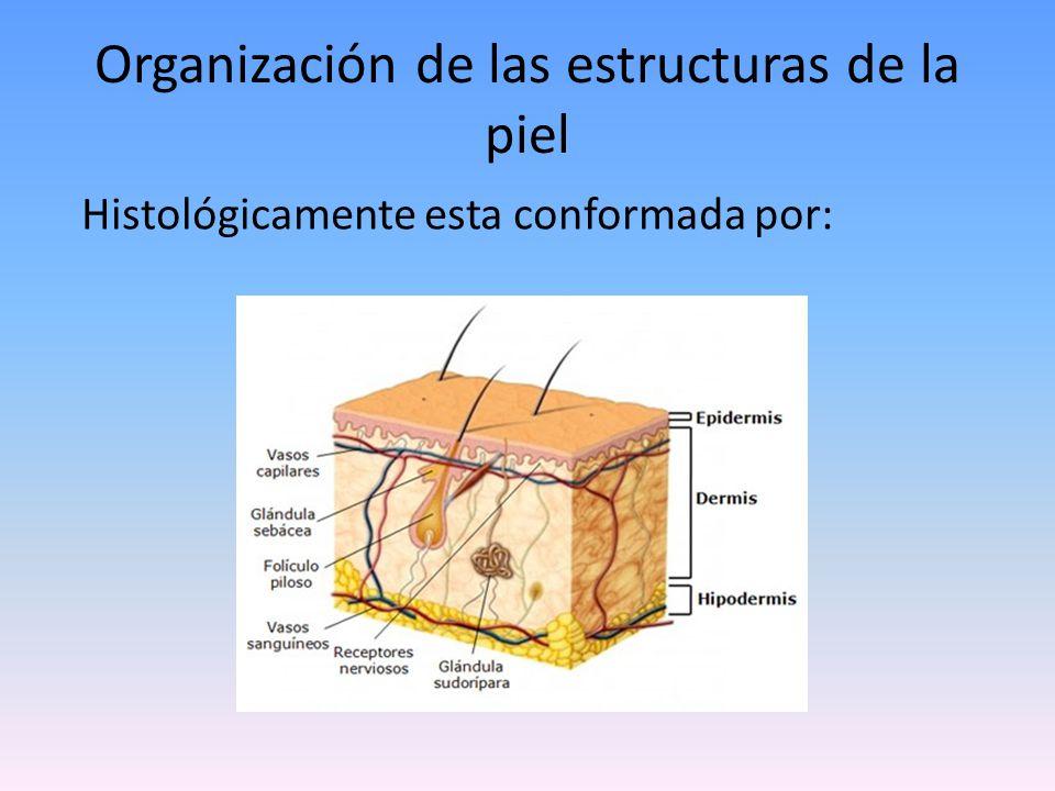 Organización de las estructuras de la piel