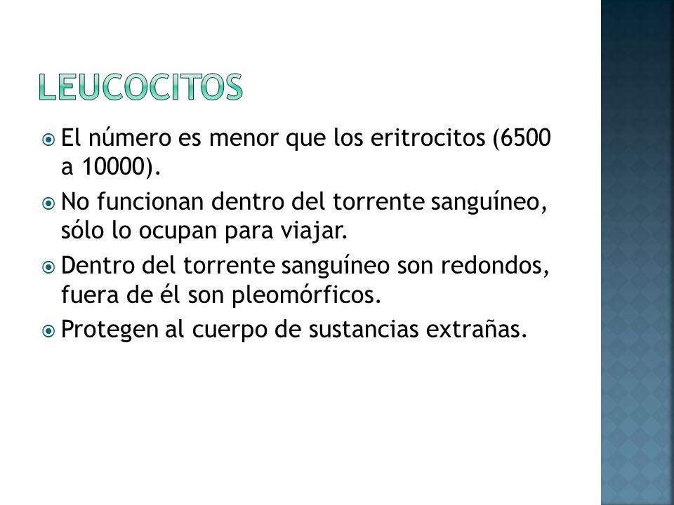 Leucocitos El número es menor que los eritrocitos (6500 a 10000).