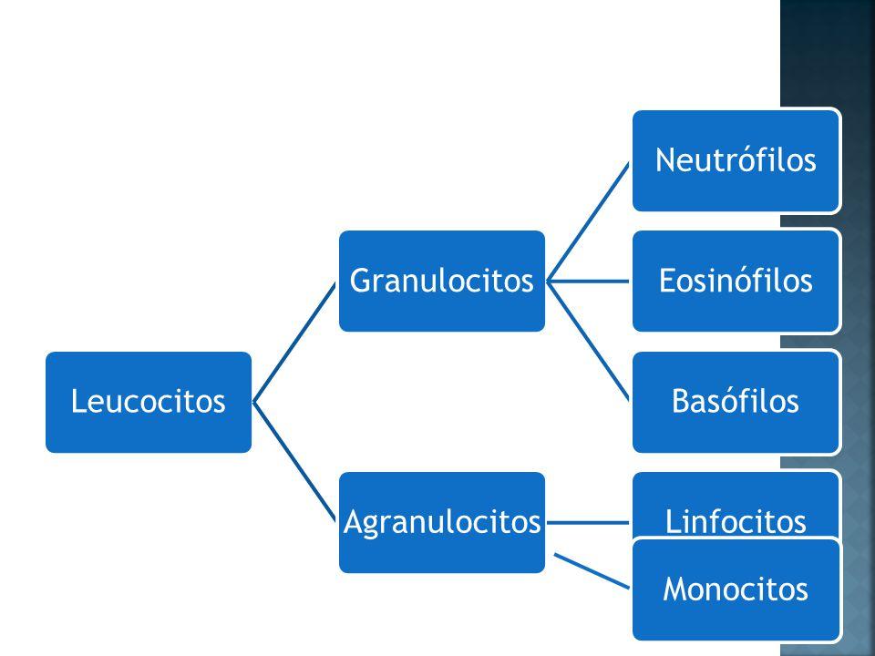 Leucocitos Granulocitos Neutrófilos Eosinófilos Basófilos Agranulocitos Linfocitos Monocitos