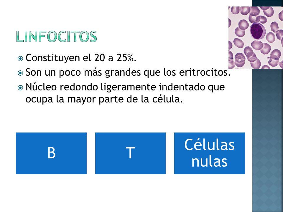 Linfocitos Constituyen el 20 a 25%.