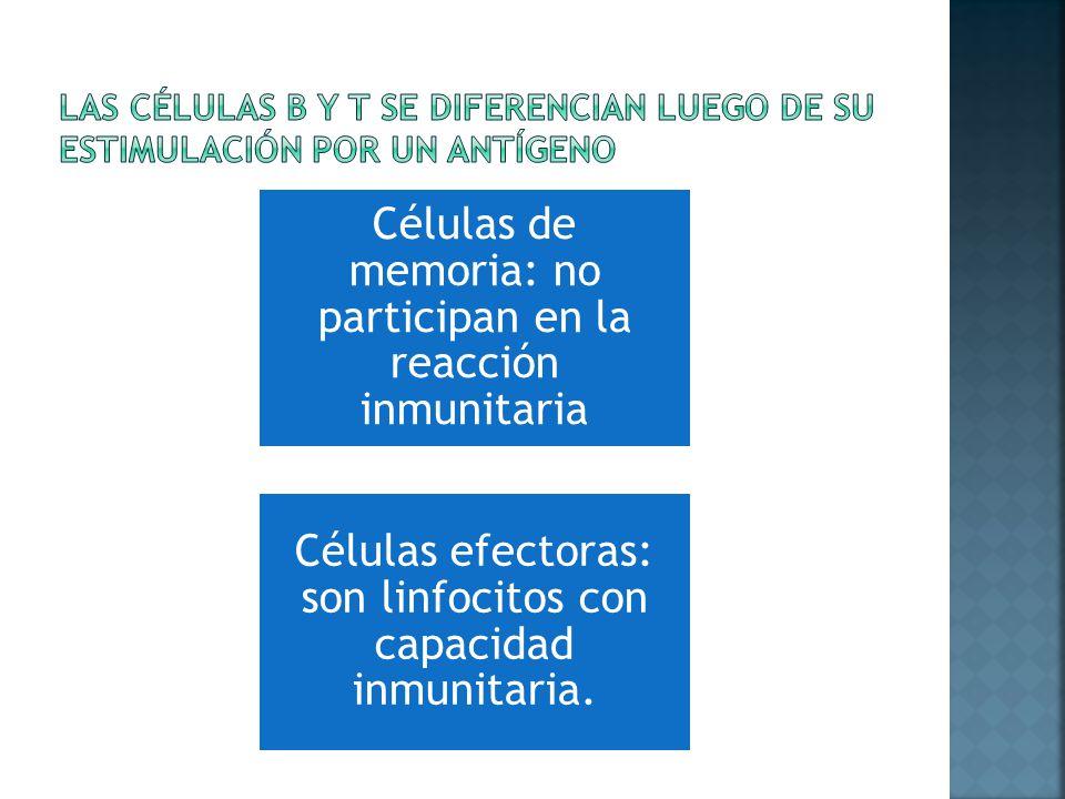Las células b y t se diferencian luego de su estimulación por un antígeno