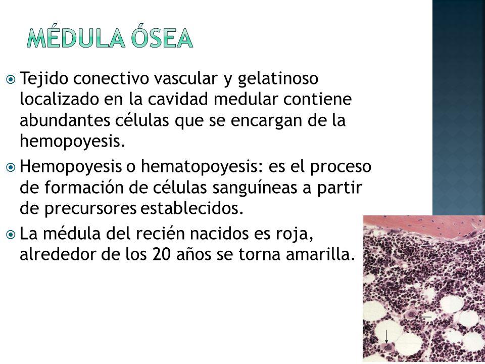 Médula ósea Tejido conectivo vascular y gelatinoso localizado en la cavidad medular contiene abundantes células que se encargan de la hemopoyesis.