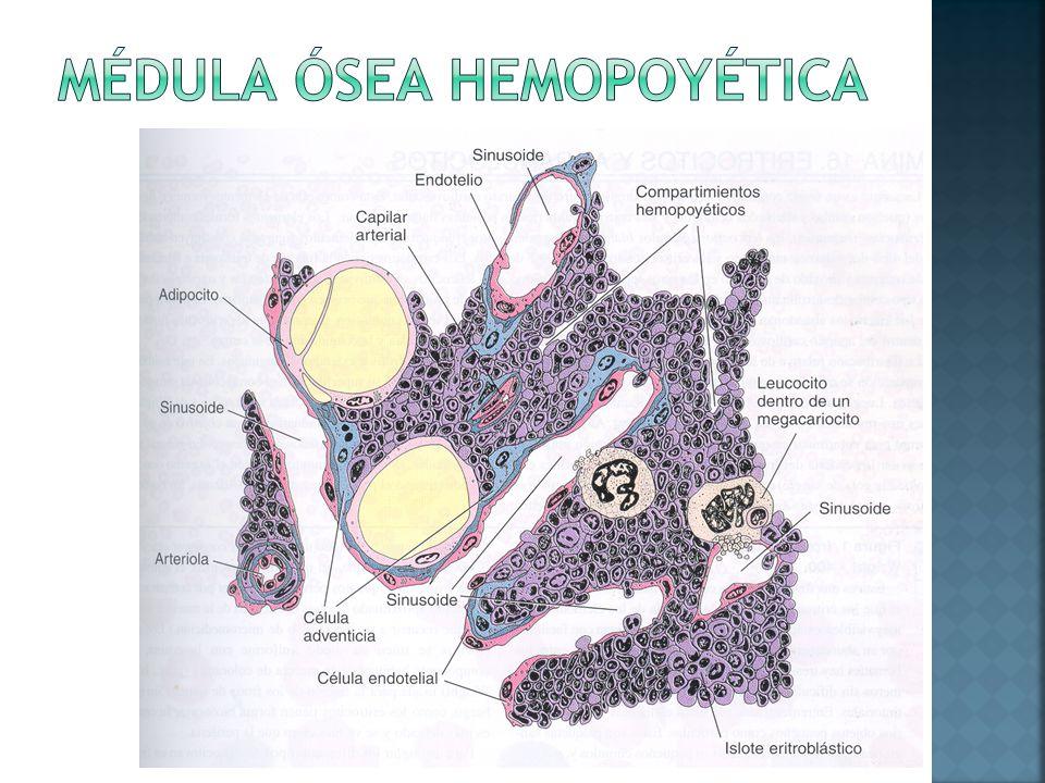 Médula ósea hemopoyética