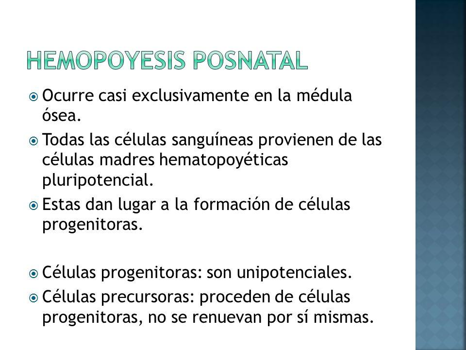 Hemopoyesis posnatal Ocurre casi exclusivamente en la médula ósea.