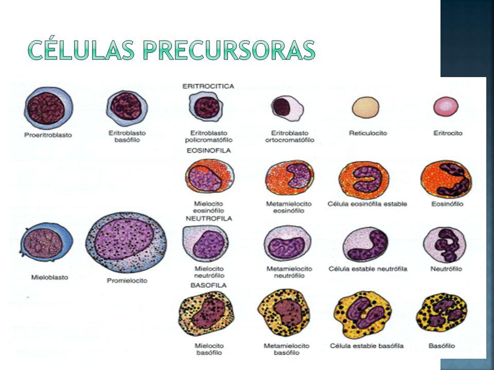Células precursoras