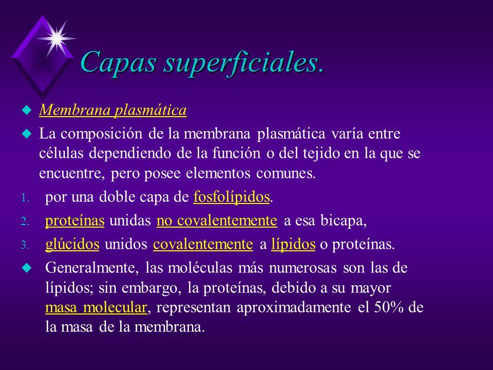Capas superficiales. Membrana plasmática