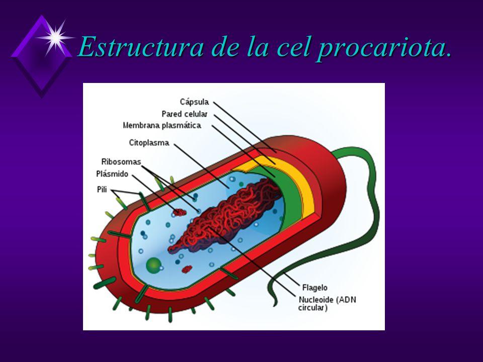 Estructura de la cel procariota.