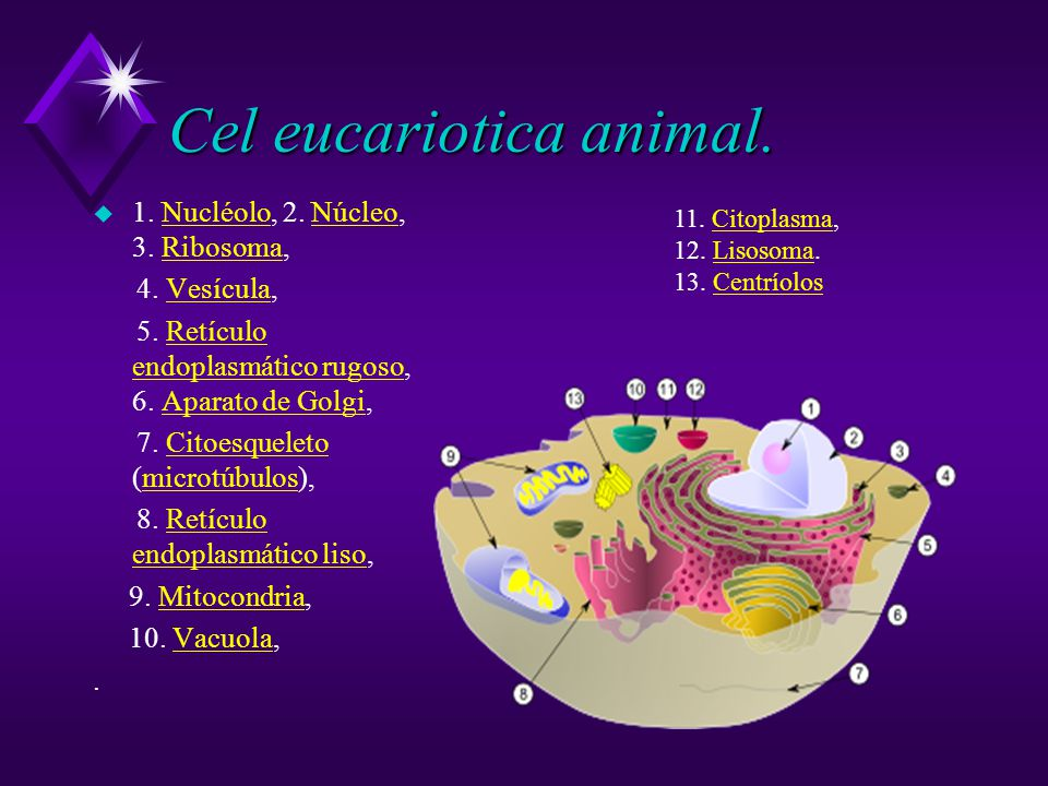 Cel eucariotica animal.