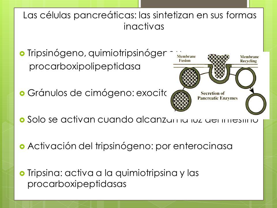 Las células pancreáticas: las sintetizan en sus formas inactivas
