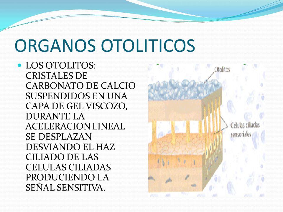 ORGANOS OTOLITICOS