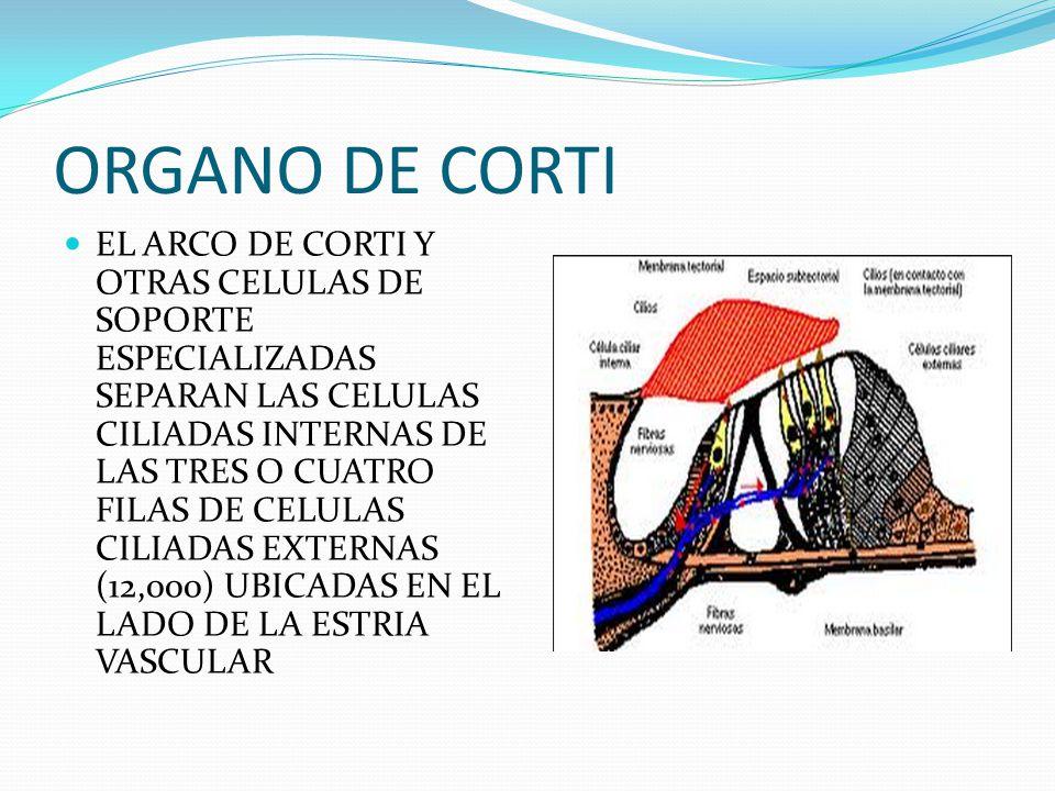 ORGANO DE CORTI