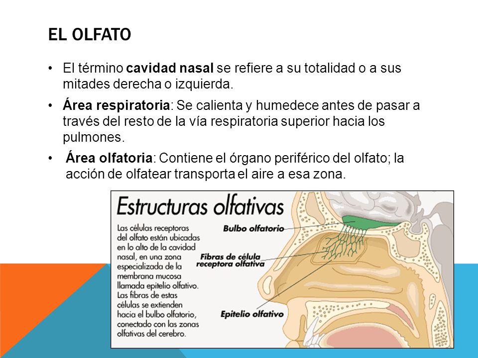 EL OLFATO El término cavidad nasal se refiere a su totalidad o a sus mitades derecha o izquierda.