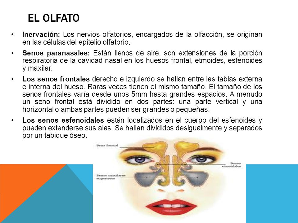 EL OLFATO Inervación: Los nervios olfatorios, encargados de la olfacción, se originan en las células del epitelio olfatorio.