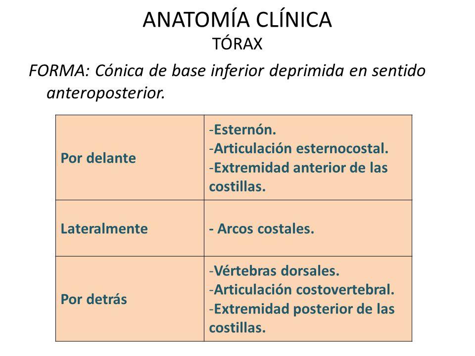 ANATOMÍA CLÍNICA TÓRAX FORMA: Cónica de base inferior deprimida en sentido anteroposterior. Por delante.