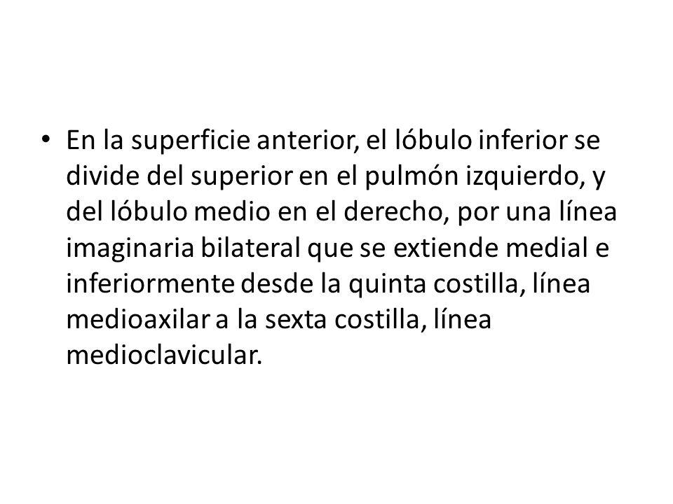 En la superficie anterior, el lóbulo inferior se divide del superior en el pulmón izquierdo, y del lóbulo medio en el derecho, por una línea imaginaria bilateral que se extiende medial e inferiormente desde la quinta costilla, línea medioaxilar a la sexta costilla, línea medioclavicular.