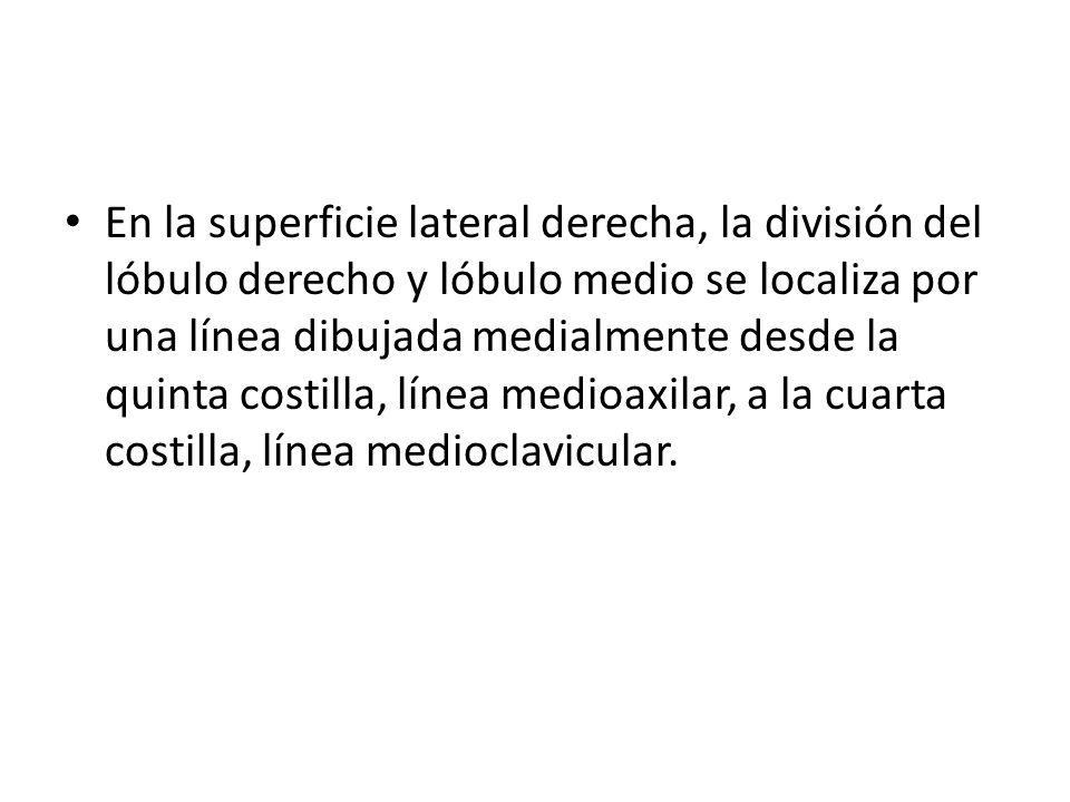 En la superficie lateral derecha, la división del lóbulo derecho y lóbulo medio se localiza por una línea dibujada medialmente desde la quinta costilla, línea medioaxilar, a la cuarta costilla, línea medioclavicular.