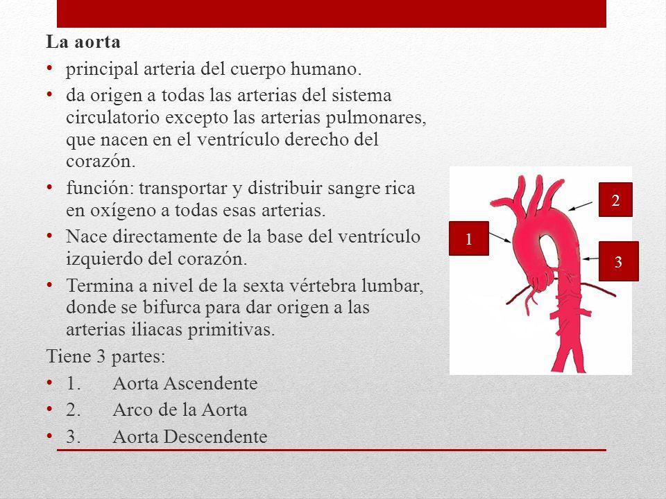 principal arteria del cuerpo humano.