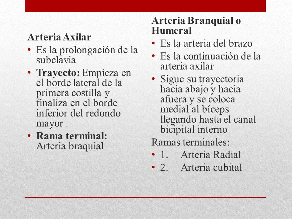 Arteria Axilar Es la prolongación de la subclavia.