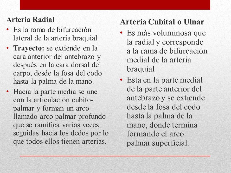 Arteria Cubital o Ulnar