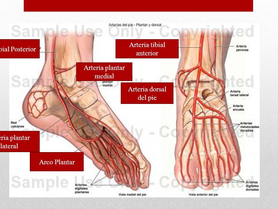 Arteria Tibial Posterior Arteria tibial anterior