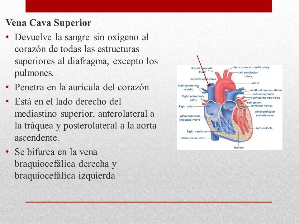 Vena Cava Superior Devuelve la sangre sin oxígeno al corazón de todas las estructuras superiores al diafragma, excepto los pulmones.