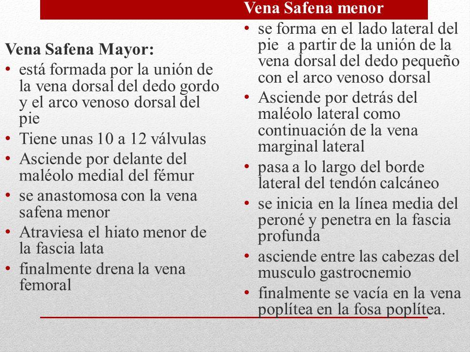 Vena Safena Mayor: está formada por la unión de la vena dorsal del dedo gordo y el arco venoso dorsal del pie.