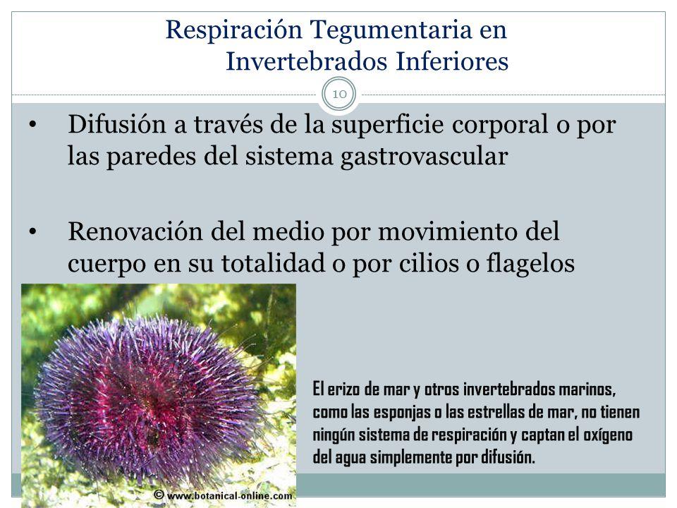 Respiración Tegumentaria en Invertebrados Inferiores