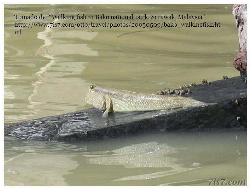 Tomado de: Walking fish in Bako national park. Sarawak, Malaysia