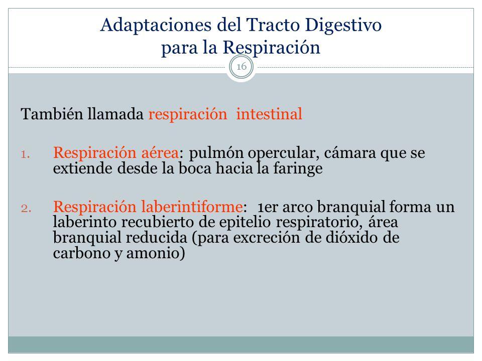 Adaptaciones del Tracto Digestivo para la Respiración