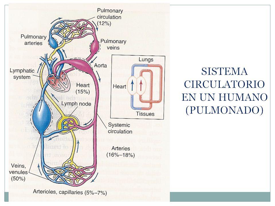 SISTEMA CIRCULATORIO EN UN HUMANO (PULMONADO)