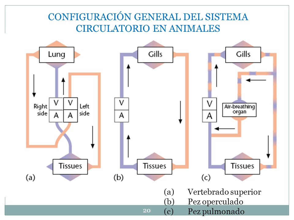 CONFIGURACIÓN GENERAL DEL SISTEMA CIRCULATORIO EN ANIMALES