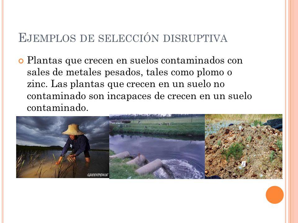 Ejemplos de selección disruptiva