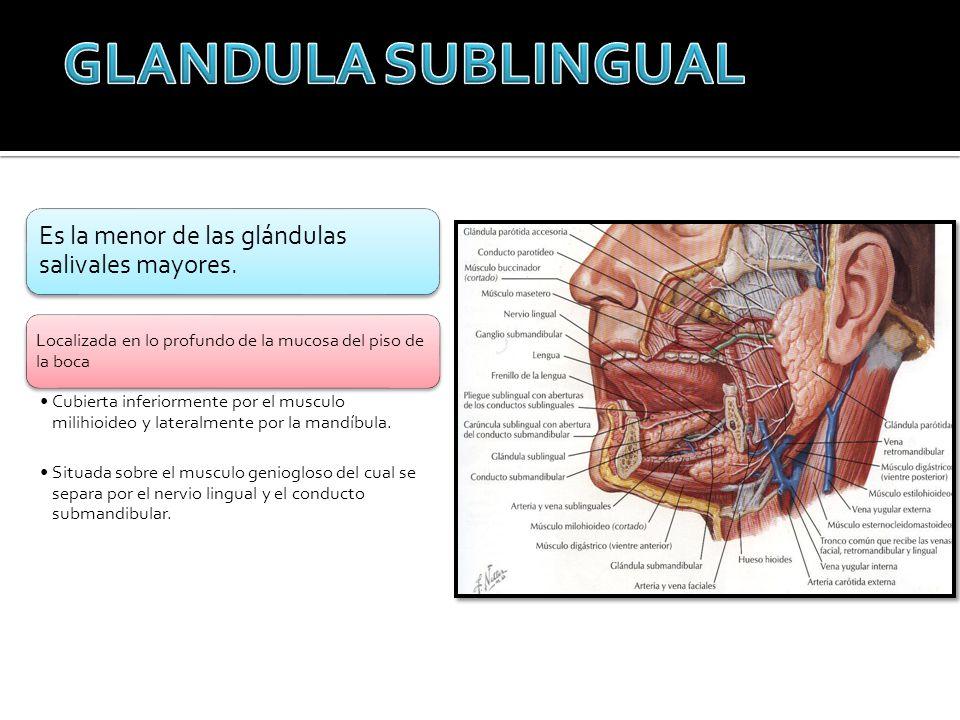 GLANDULA SUBLINGUAL Es la menor de las glándulas salivales mayores.