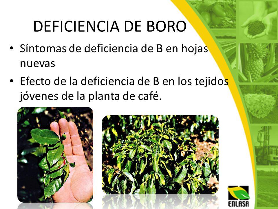DEFICIENCIA DE BORO Síntomas de deficiencia de B en hojas nuevas