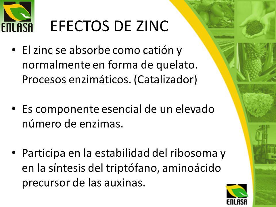 EFECTOS DE ZINC El zinc se absorbe como catión y normalmente en forma de quelato. Procesos enzimáticos. (Catalizador)