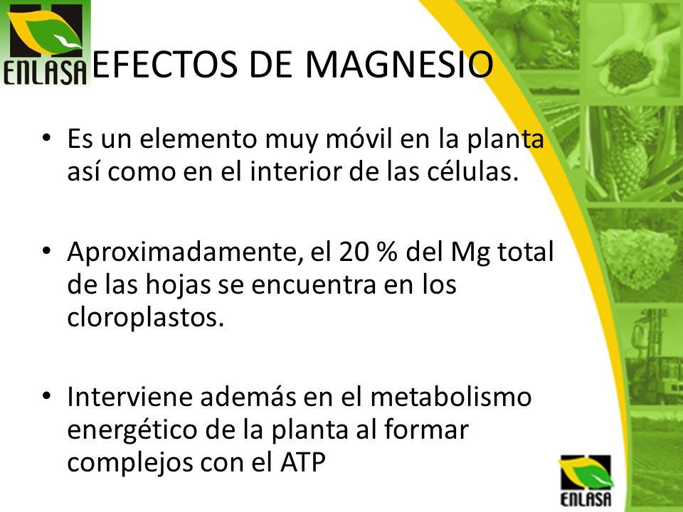 EFECTOS DE MAGNESIO Es un elemento muy móvil en la planta así como en el interior de las células.